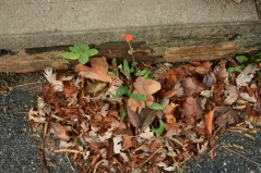 opportunistic Tassel flower (Emilia) in a driveway crack