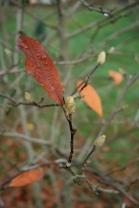 Magnolia stellata in bud