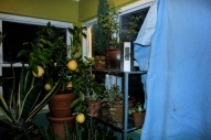blue for the west door.  Ponderosa lemon and agave featured.