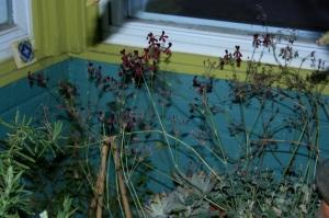 Pelargonium sidoides in full bloom