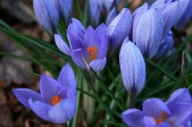 crocus deliciousness (not my garden)
