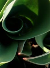 Tulip curl (my garden)