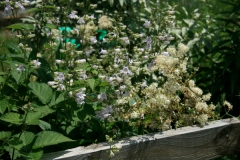 penstamon and filipendula - a clash of washouts