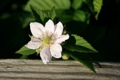 thornless blackberry. my mystery plant