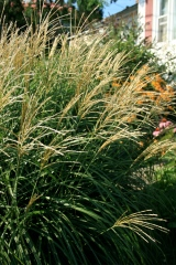 a not-so-dwarf-after-all miscanthus