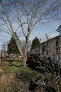 mostly-dead gay tree (mimosa/silk tree - Albezia julibrisson) - before.