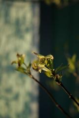 new dogwood blooms (2 weeks ago)