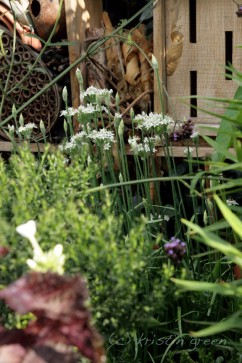 garlic chives and Z's bughouse
