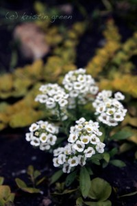 plain old sweet alyssum