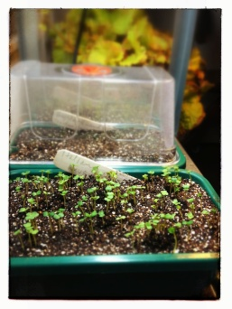 arugula seedlings germinated in 4 days.