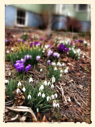 snowdrops and crocus blooming on High St.