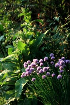 chives and verbascum