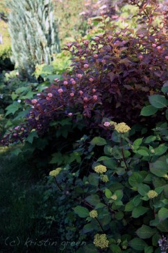 Hydrangea and ninebark about to bloom