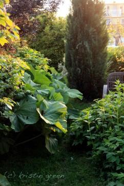 Petasites japonicus along the sideyard