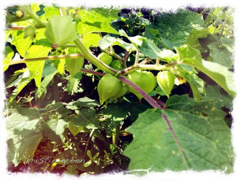ground cherries ripening