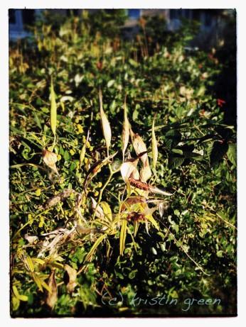 Swamp milkweed (Asclepias incarnata) seedpods along my fence