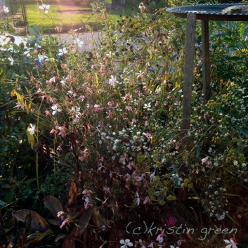sun caught in the gaura, Boltonia 'Nally's Lime Dots' and a weedy aster