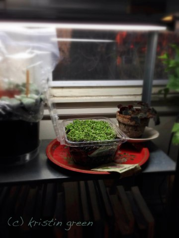 My microgreenery shares its windowsill with cuttings and a sorry begonia.