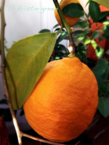 A perfectly ripe Meyer lemon waiting to be turned into ice cream...