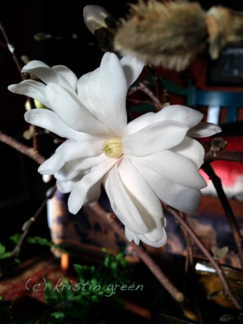 Magnolia stellata forced 3/9 -- 2 weeks to bloom