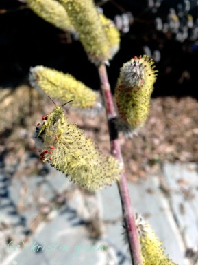 Sweat bee dusted in Mt. Aso pussy willow (Salix chaenomeloides 'Mt. Aso') pollen
