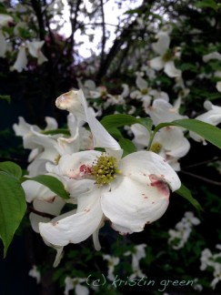 full-grown flowering dogwood