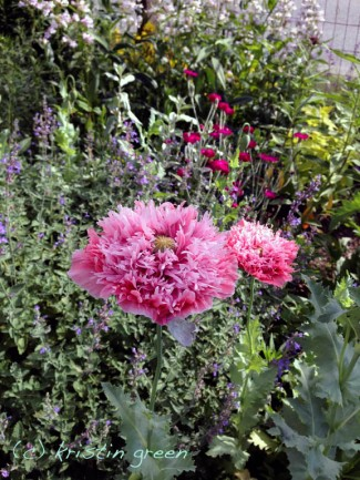 Pink peony poppy, nepeta, and rose campion blooming out front