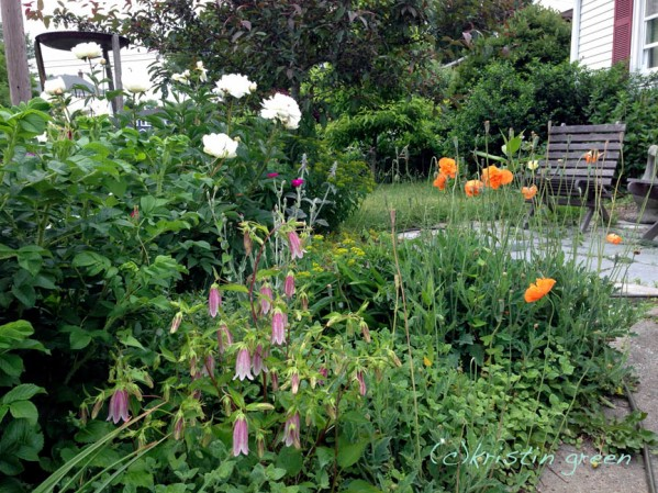 Campanula punctata 'Pink Chimes' and Atlantic poppy grow like weeds in June
