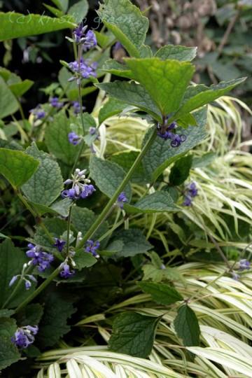 Clematis heracleifolia and Hakonechloa macra 'Aureola'