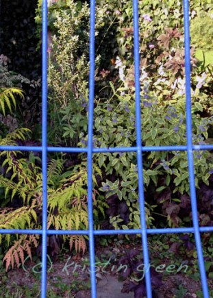 Caryopteris (right) echoing the cerulean of my wire chairs.