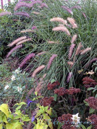 Pennisetum orientale 'Karley Rose' about to eat a daphne
