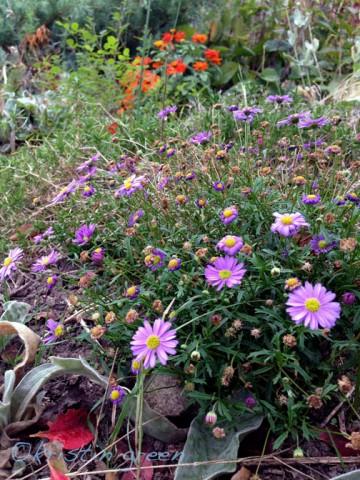 Late entries -- brachyscome and orange zinnias