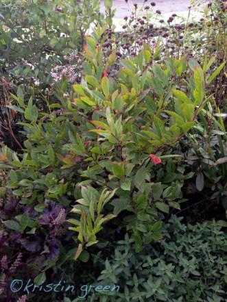Itea virginica 'Henry's Garnet' beginning to color up.
