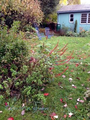 Red velvet sage (Salvia confertiflora)