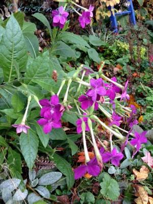 Nicotiana 'Perfume Deep Purple' turned a bilious shade
