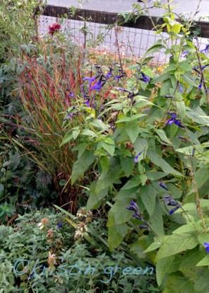 Salvia guaranitica and Panicum virgatum 'Shenandoah'