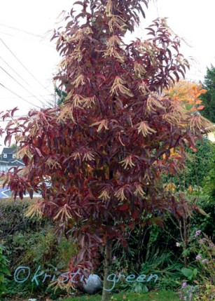 Sourwood (Oxydendrum arboreum)