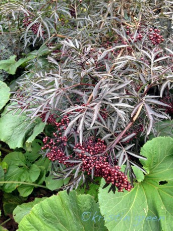 Black Lace elderberry (Sambucus nigra 'Eva')