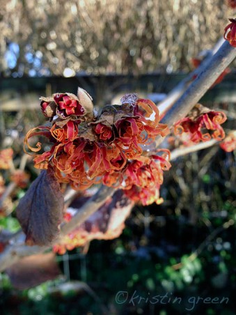 Hamamelis x intermedia 'Jelena' -- before the snow.