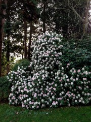 Giant rhody at the Ballard Locks
