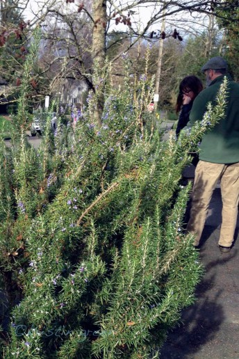 Giant rosemary blooming in a U District hellstrip