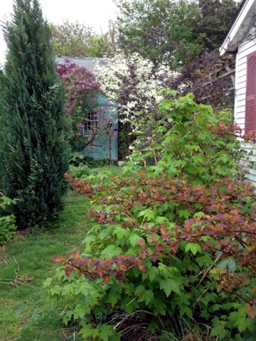 Narrow sideyard path showing my favorite and gifted Lawson cypress before it died. (c. 2013)