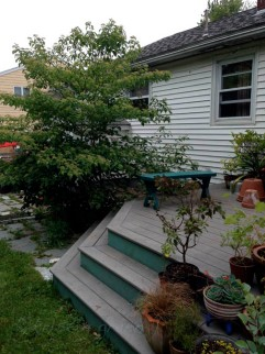Alternate-leaved dogwood after separation, before shower installation.