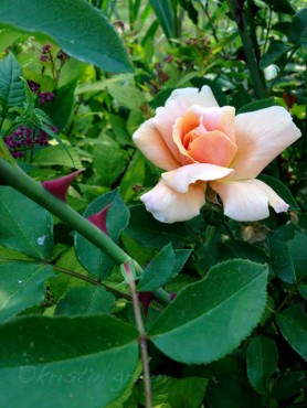 nameless once-blooming apricot rose...