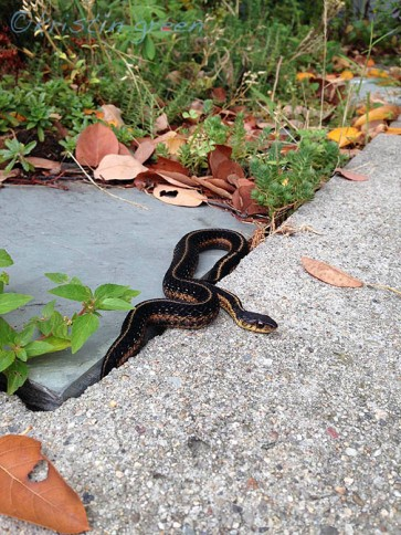A common garter snake made an appearance on top of my driveway wall this week as if on cue.