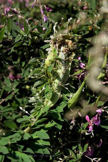 Fasciated stem detail