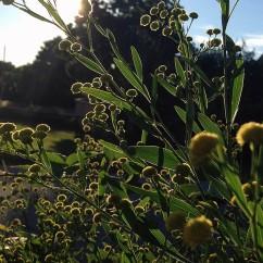 Suncatcher - Boltonia 'Nally's Lime Dots'