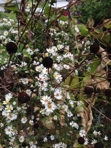 lacy aster and black-eyed Susan seedheads