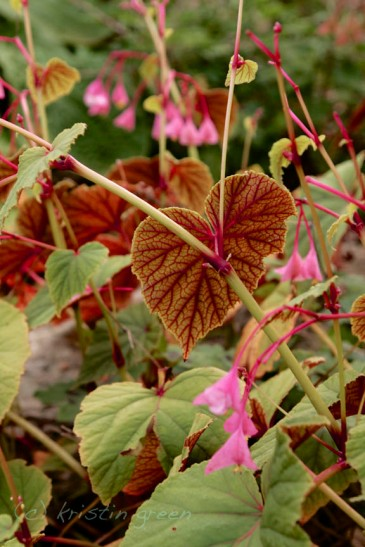 Begonia grandis in a friend's garden