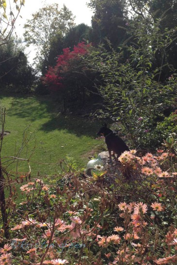 Bazil and Sheffield Pink chrysanthemums in a friend's garden